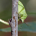 Descent Of A Green Stink Bug by Doris Potter