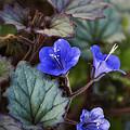 Desert Bluebells  by Saija  Lehtonen