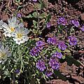 Desert Chicory And Heliotrope by David Salter