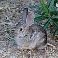 Desert Cottontail by Mary Deal