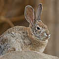 Desert Cottontail Rabbits by Joel Sartore