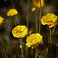 Desert Marigold by Saija  Lehtonen