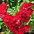 Desert Roses by George Sylvia