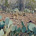 Desert Wolf by Douglas Barnett