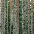 Detail Of Arrow-straight Evergreen by Mattias Klum