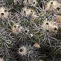 Devil's Club Cactus (gousonia Invicta) by Bob Gibbons