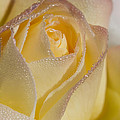 Dew Bejeweled Peace Rose by Kathy Clark