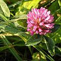 Dew Covered Clover Blossom by Kent Lorentzen