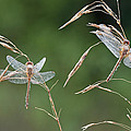 Dew Covered Dragonflies by Dean Pennala