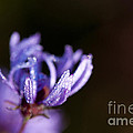 Dew-covered Purple Wildflower by Gary Chapple