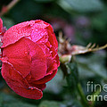 Dew Drenched Rose by Susan Herber