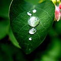 Dew Drops by Lainie Wrightson