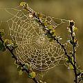 Dew Highlights An Orb-weaver Spiders by Mattias Klum
