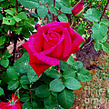 Dew Kissed Red  Rose by The Kepharts