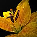 Dew On The Daylily by Debbie Portwood