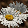 Dew Tell Oxeye Daisy Wildflowers by Kathy Clark