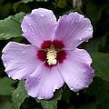 Dewey Hibiscus by Sally Weigand