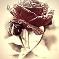Dewy Rose by Bonnie Willis
