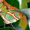 Dido Longwing Butterfly by Peggy Franz