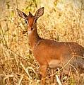Dik-dik Antelope by Nian Chen