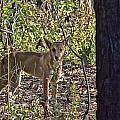 Dingo In The Wild V3 by Douglas Barnard