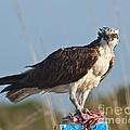 Dining Osprey by Stephen Whalen