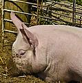Dirty Piggy by LeeAnn McLaneGoetz McLaneGoetzStudioLLCcom