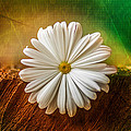 Disappearing Daisy by Gene Hilton