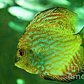 Discus Fish by Diego Re