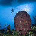 Diver And Barrel Sponge, Belize by Todd Winner