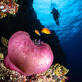 Diver And Magnificent Anemone, Fiji by Todd Winner