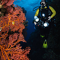 Diver And Sea Fans, Fiji by Todd Winner