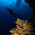 Diver And Soft Coral, Fiji by Todd Winner