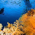 Diver Hovering Over Soft Coral Reef by Todd Winner