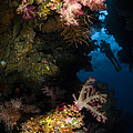 Diver In Soft Coral Seascape, Fiji by Todd Winner