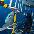Diver Observes A Male Great White Shark by Todd Winner