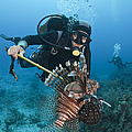 Diver Spears An Invasive Indo-pacific by Karen Doody