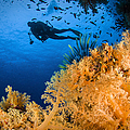 Diver Swimms Above Soft Coral, Fiji by Todd Winner