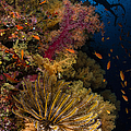 Diver Swims By Soft Corals And Crinoid by Todd Winner