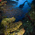 Diver Swims Over A Reef, Belize by Todd Winner