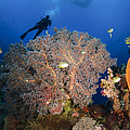 Diver Swims Over Sea Fans, Indonesia by Todd Winner