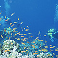 Divers Enjoy The Beauty Of The Reefs by Carsten Peter