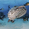 Divers Photographing A Giant Grouper by Mathieu Meur