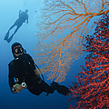 Divers Swimming By Sea Fans, Indonesia by Todd Winner