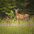 Doe And Fawn Along A Roadside Near Iron Mountain Michigan. by Randall Nyhof