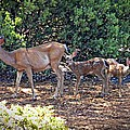 Doe And Twin Fawns by Frank Wilson
