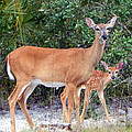 Doe With Fawn I by Sheri McLeroy