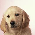 Dog, Close-up by David De Lossy