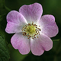 Dog Rose (rosa Canina) by Linda Wright
