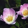 Dog Rose (rosa Sp.) by Colin Varndell